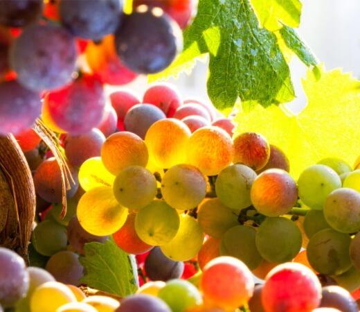 Les Cépages des Vins